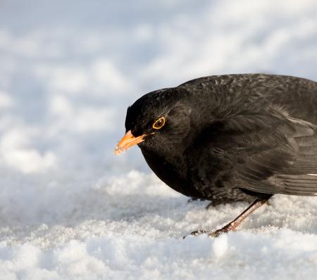 merula: Male common blackbird Turdus merula on snow portrait. Eurasian. Location: Lund, Sweden.