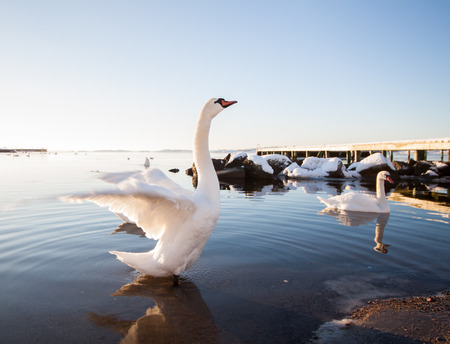 gothenburg: A beautiful majestic white swan spreads its wings by the shore in the winter. Location: Gothenburg, Sweden. Stock Photo