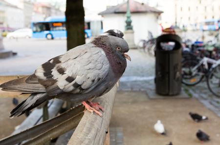 gothenburg: City pigeon at Brunnsparken in Gothenburg, Sweden. Stock Photo