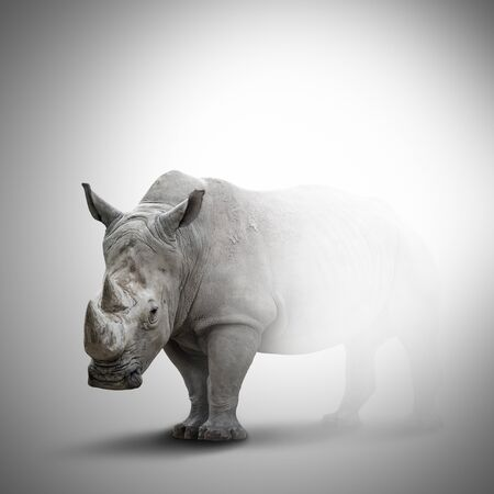 A white rhino. Rhinoceros with big horns coming out of the fog. Rhinoceros half invisible isolated on grey background 写真素材