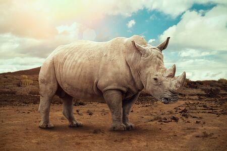 A white rhino. Rhinoceros grazing in an open field in South Africa