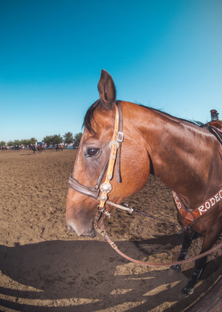 arena rodeo: Rodeo horse stands in the foreground as rodeo is happening in the arena. Stock Photo