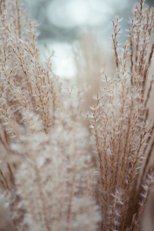 Close up of feather grass, background