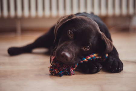 Close up of Labrador puppy, dark chocolate