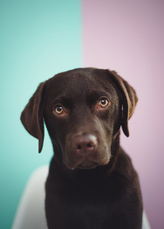 A young chocolate lab sits looking at the camera against a colorful background.