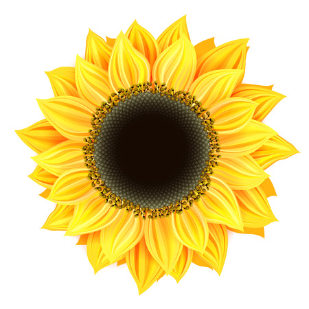 sunflower isolated Ilustrace