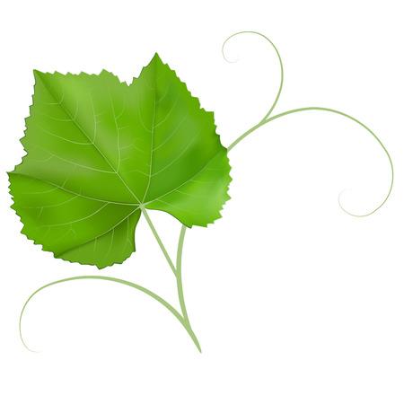 Grape leaf isolated on white background  Illustration