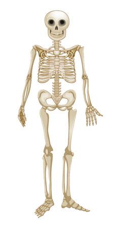 halloween skeleton: Human skeleton Illustration