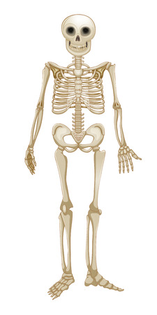 Human skeleton Illustration
