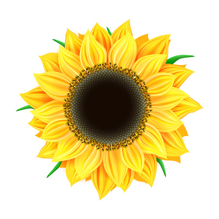 sunflower isolated: Vector sunflower isolated