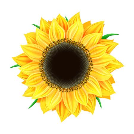 stamen: Vector sunflower isolated