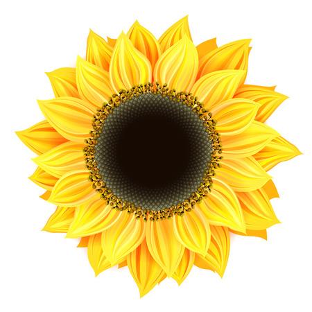 sunflower isolated: sunflower isolated Stock Photo