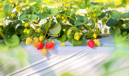 highland: Strawberry fruits on the branch at the morning light Stock Photo