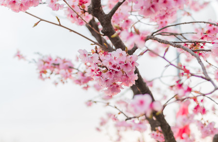 arbol de cerezo: primer sakura japón