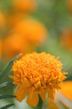 officinalis: Marigold (Calendula officinalis) Stock Photo
