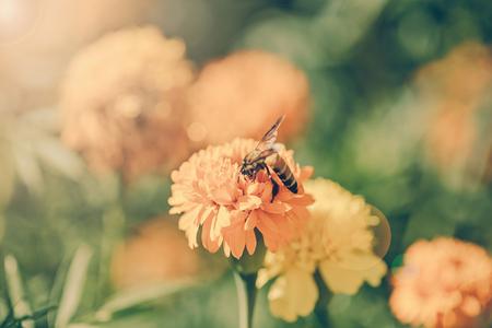 brighten: Bee on double orange marigold, genus Tagetes, or species Calendula officinalis brighten up the autumn garden ,vintage