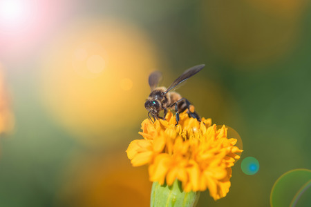 genus: Bee on double orange marigold, genus Tagetes, or species Calendula officinalis brighten up the autumn garden