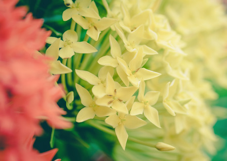 ixora: yellow Ixora flowers ,vintage
