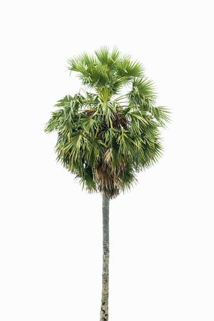 palmier: Borassus flabellifer, connu sous plusieurs noms communs, y compris l'Asie Palmyra palme, Toddy de palme, sucre, ou de palme cambodgienne, arbre tropical dans le nord-est de la Tha�lande