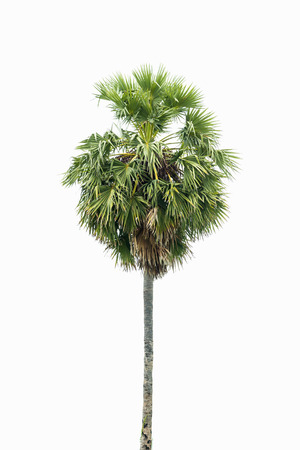 arboles frondosos: Borassus flabellifer, conocido por varios nombres comunes, incluyendo la palma de Asia Palmyra, Toddy palma, azúcar de palma, o la palma de Camboya, árbol tropical en el noreste de Tailandia Foto de archivo
