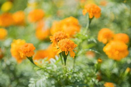 pot marigold: Calendula officinalis (pot marigold)