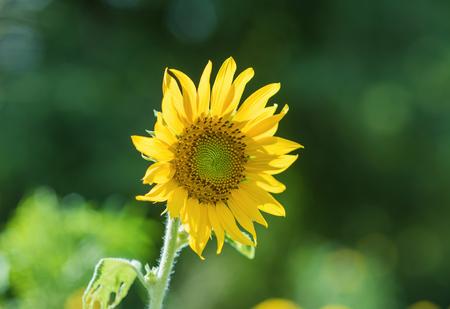 helianthus annuus: Helianthus annuus - sunflower - Seeds of ripen sunflowers
