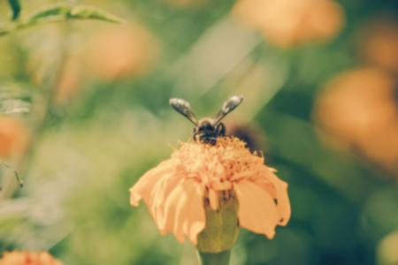 brighten: Bee on double orange marigold, genus Tagetes, or species Calendula officinalis brighten up the autumn garden ,blur, vintage