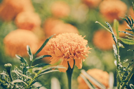 curative: Calendula officinalis (pot marigold), vintage