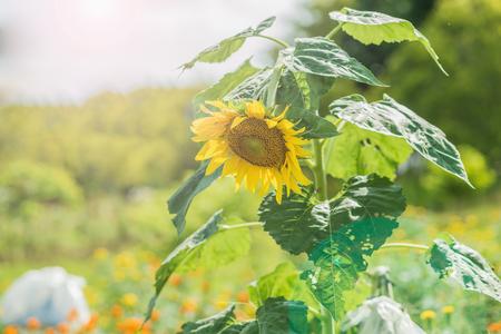 ripen: Helianthus annuus - sunflower - Seeds of ripen sunflowers