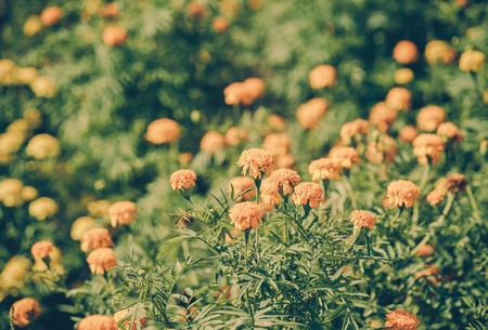 officinalis: Calendula officinalis (pot marigold), vintage