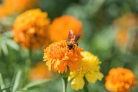 brighten: Bee on double orange marigold, genus Tagetes, or species Calendula officinalis brighten up the autumn garden ,blur