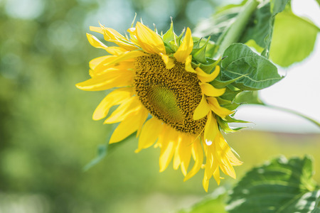 sunflower seeds: Helianthus annuus - sunflower - Seeds of ripen sunflowers