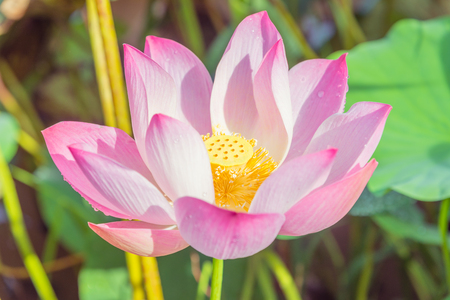 meditation isolated white: Lotus flower and Lotus flower plants Stock Photo