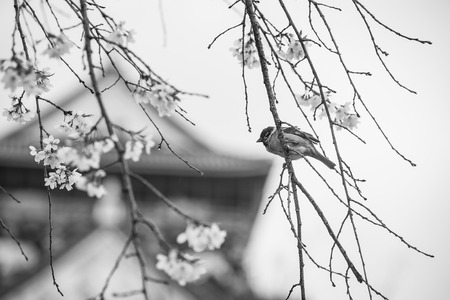 cheery: sparrow bird on the cheery blossom tree ,black and white
