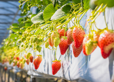 Strawberry fruits on the branch at the morning light Stock Photo