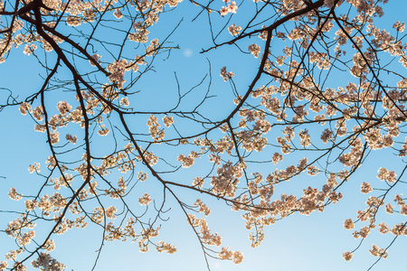 picknick: Beautiful cherry blossoms above with clear blue sky in background.