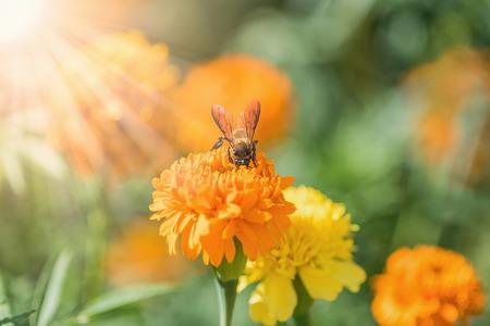 tagetes: Bee on double orange marigold, genus Tagetes, or species Calendula officinalis brighten up the autumn garden