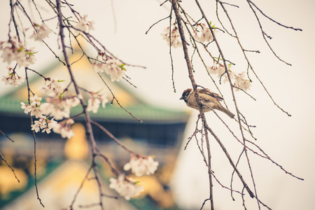 cheery: sparrow bird on the cheery blossom tree ,vintage Stock Photo