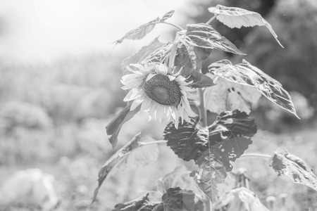 helianthus annuus: Helianthus annuus - sunflower - Seeds of ripen sunflowers ,black and white Stock Photo