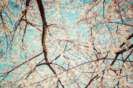picknick: Beautiful cherry blossoms above with clear blue sky in background,vintage Stock Photo