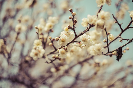 blooms: Beautiful flowering Japanese cherry - Sakura. Background with flowers on a spring day,vintage Stock Photo