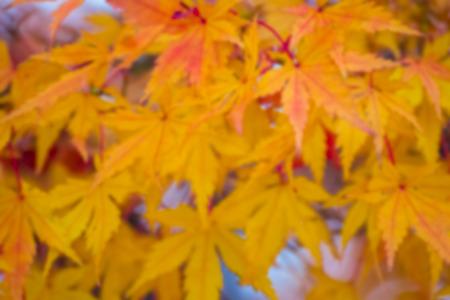 momiji: autumnal background, slightly defocused marple leaves