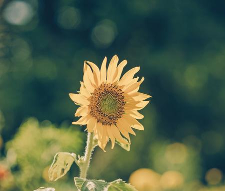 ripen: Helianthus annuus - sunflower - Seeds of ripen sunflowers,vintage Stock Photo