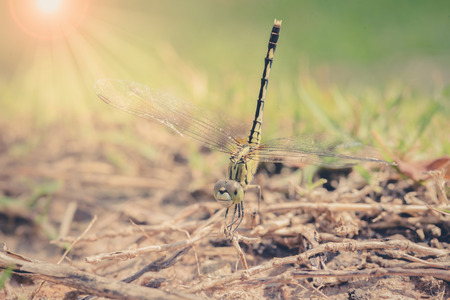 dropwing: Resting dragonfly ,vintage