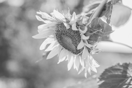 ripen: Helianthus annuus - sunflower - Seeds of ripen sunflowers ,black and white Stock Photo