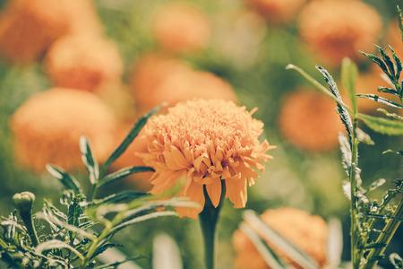 pot marigold: Calendula officinalis (pot marigold), vintage