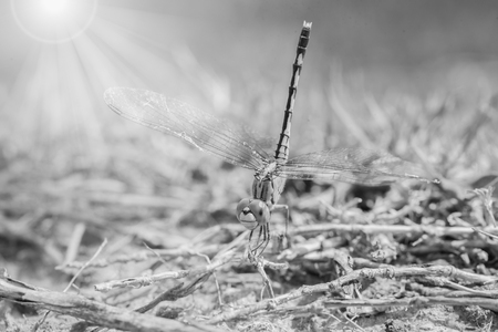 dropwing: Resting dragonfly , black and white