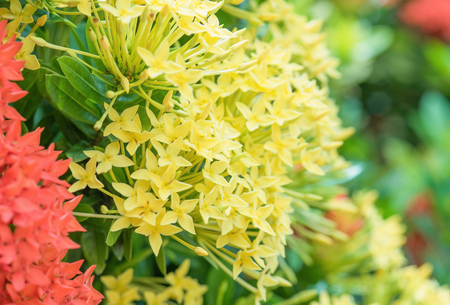 ixora: yellow Ixora flowers Stock Photo
