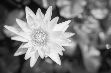 White yellow lotus flower and lotus flower plants water black and white photo