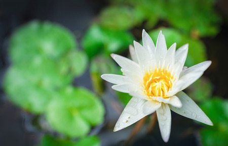 White Yellow Lotus flower and Lotus flower plants , water